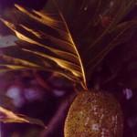 UluBreadfruit