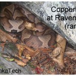 6Copperheadcrop
