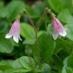 twin-flower